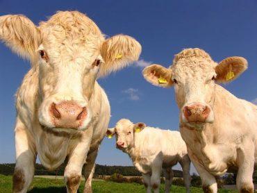 ecornage veau, simple et indispensable