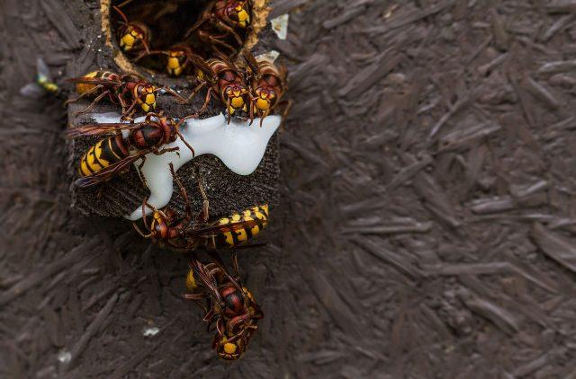 Comment détruire le nid de frelon asiatique?
